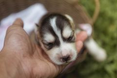 A iberian husky puppy sleeping in a basket in gardens royalty free stock images