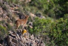 Iberian Ibex (Capra pyrenaica) surveys her territory. La Rahige, Spain. A female Iberian Ibex (Capra pyrenaica), also known as a Spanish royalty free stock photography