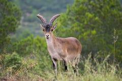 Iberian ibex grazing in a wooded area 4. Iberian ibex grazing in a wooded area in the interior of Valencia stock photo