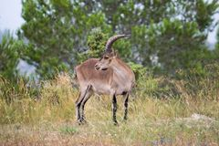 Iberian ibex grazing in a wooded area 6. Iberian ibex grazing in a wooded area in the interior of Valencia royalty free stock photo