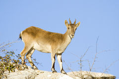 Iberian ibex Stock Photo