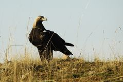 Iberian imperial eagle Royalty Free Stock Images