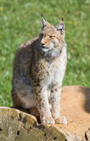 Iberian lynx. Endangered beautiful lynx pardinus or lynx pardina aka iberian lynx Royalty Free Stock Photo