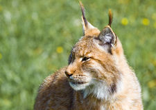 Iberian lynx. Endangered beautiful lynx pardinus or lynx pardina aka iberian lynx Stock Photography