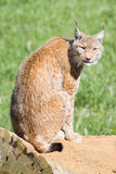 Iberian lynx. Endangered beautiful lynx pardinus or lynx pardina aka iberian lynx Stock Images