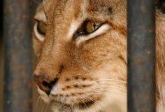 Iberian Lynx Stock Photo
