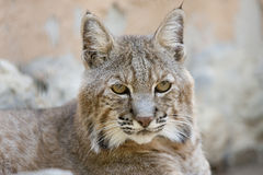 Iberian lynx Royalty Free Stock Photos