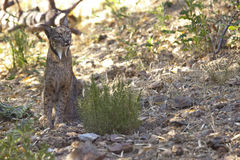 Iberian lynx on alert Stock Photo