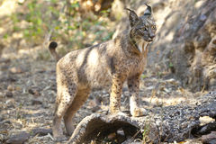 Iberian lynx on alert position Royalty Free Stock Photography