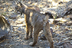 Iberian lynx from back. Iberian lynx or Lynx pardinus at wild life park Royalty Free Stock Images