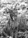 Iberian lynx black and white shot Stock Photo