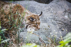 Iberian Lynx Chasing A Bird Stock Photos