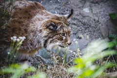 Iberian lynx chasing a bird. Hungry Royalty Free Stock Photos
