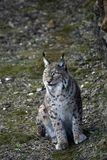 Iberian lynx close up stock photos