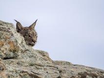 Iberian lynx hidden. Behind a rock Stock Photo