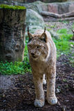 Iberian lynx. Iberian lynx looking in zoo Royalty Free Stock Photo