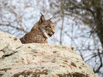 Iberian lynx ( Lynx pardinus) licking its nose Stock Photo
