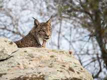 Iberian lynx ( Lynx pardinus ) lying down on a rock Stock Photo