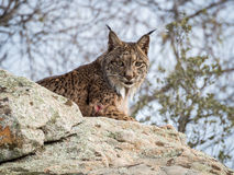 Iberian lynx ( Lynx pardinus ) lying down on a rock Royalty Free Stock Photography