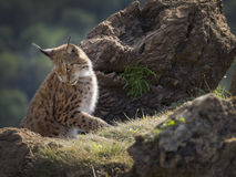 Iberian lynx Royalty Free Stock Photography
