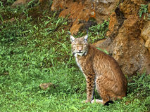 Iberian lynx. The most rare species of Lynx is the Spanish Lynx. Its natural habitat is open forest and sand dunes in isolated areas of Spain and Portugal. It is Stock Photo