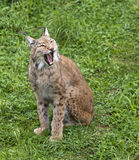 Iberian lynx. Or Lynx pardinus at wild life park Stock Images