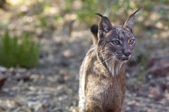 Iberian lynx portrait Stock Photos