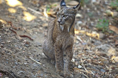 Iberian lynx sat. Iberian lynx or Lynx pardinus at wild life park Royalty Free Stock Photography