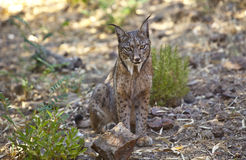 Iberian lynx sitting on alert Royalty Free Stock Image