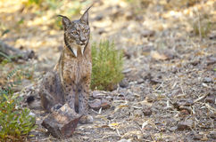 Iberian lynx sitting on alert Royalty Free Stock Photos