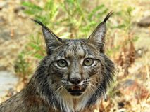 Iberian lynx. South Spain, Andalucia Stock Image