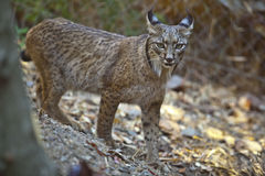 Iberian lynx standing Royalty Free Stock Photo