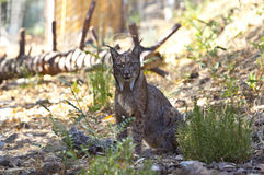 Iberian lynx staring to the camera Stock Images