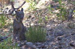 Iberian lynx with tonge out Royalty Free Stock Image