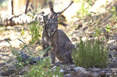 Iberian lynx with tonge out Royalty Free Stock Photos