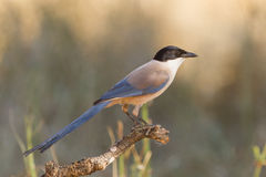 Iberian magpie. An iberian magpie in extremadura Stock Photos