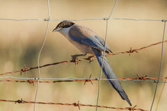 Iberian magpie. An iberian magpie in extremadura Royalty Free Stock Photo