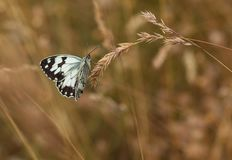 Iberian marbled White on dry grass seeds. An Iberian Marbled White Butterfly, Melanargia lachesis, posing on dry grass seeds with no pollinating interest for it royalty free stock photo