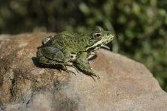 Iberian marsh frog, Rana perezi Royalty Free Stock Photos