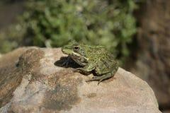 Iberian marsh frog, Rana perezi Stock Photo