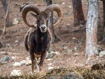 Iberian mouflon Ovis orientalis musimon Royalty Free Stock Photo