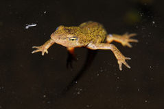 Iberian newt Lissotriton boscai in San Juan de Rio, Orense, Spain Stock Photos