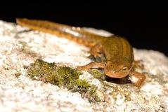 Iberian newt Lissotriton boscai in San Juan de Rio, Orense, Spain Royalty Free Stock Photography