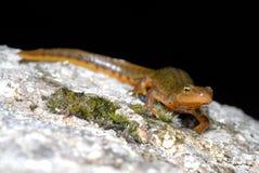Iberian newt Lissotriton boscai in San Juan de Rio, Orense, Spain Stock Images
