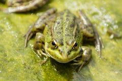 Iberian Pelophylax för grön groda perezi Fotografering för Bildbyråer