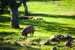 Iberian pig eating at the field. Royalty Free Stock Photos