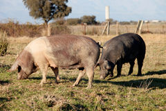 Iberian pig in the field of Spain. Stock Photography