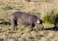 Iberian pig in the field of Spain. Royalty Free Stock Photos