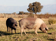 Iberian pig in the field of Spain. Royalty Free Stock Image