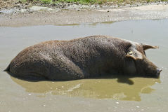 Iberian pig having a bath. Stock Photos